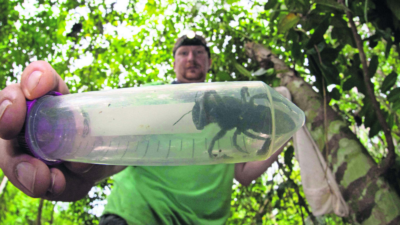 Hallan abeja gigante amenazada se creía extinta cuatro centímetros de largo