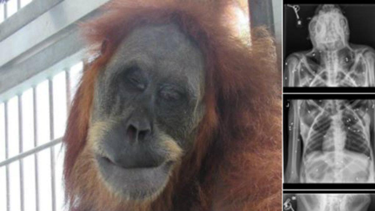 salvan a orangutána de morir fue atacada le dispararon disparos de perdigón indonesia