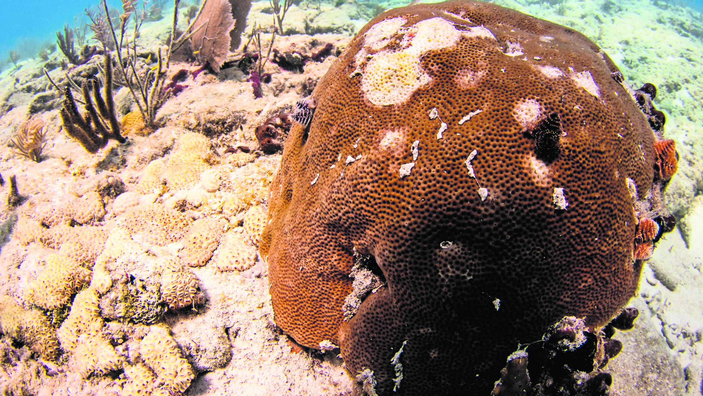 Enfermedad matando arrecifes de coral