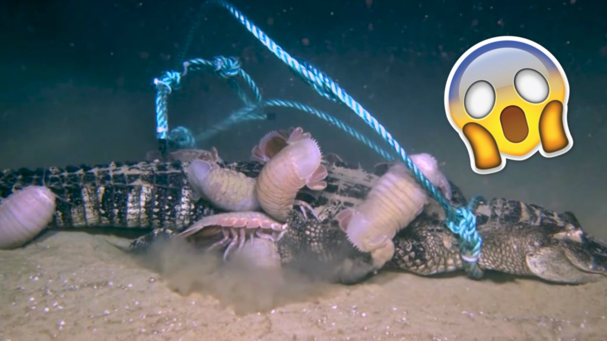 Graban momento en que extrañas 'criaturas' devoran un caimán