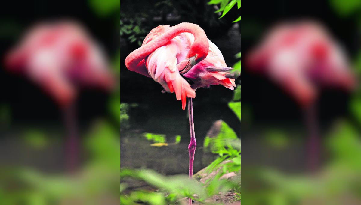 sacrifican flamingo niño piedra lesión