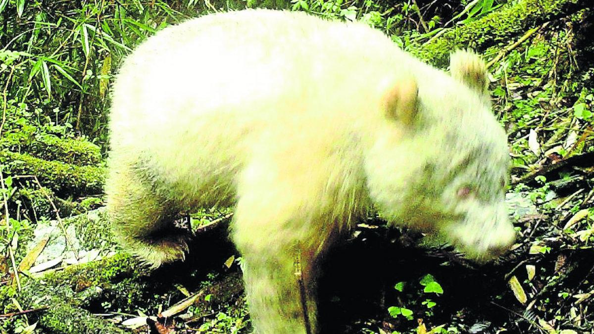 Video panda albino Reserva Natural Nacional Wolong