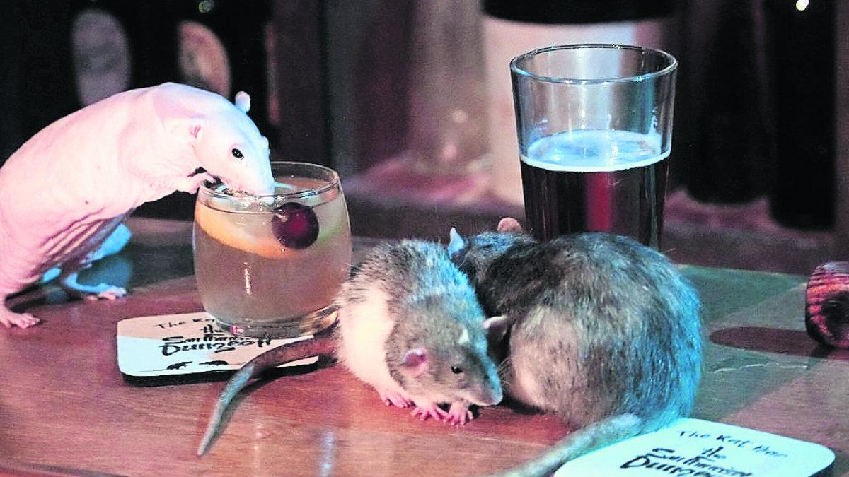 Abrirán un bar repleto ratas