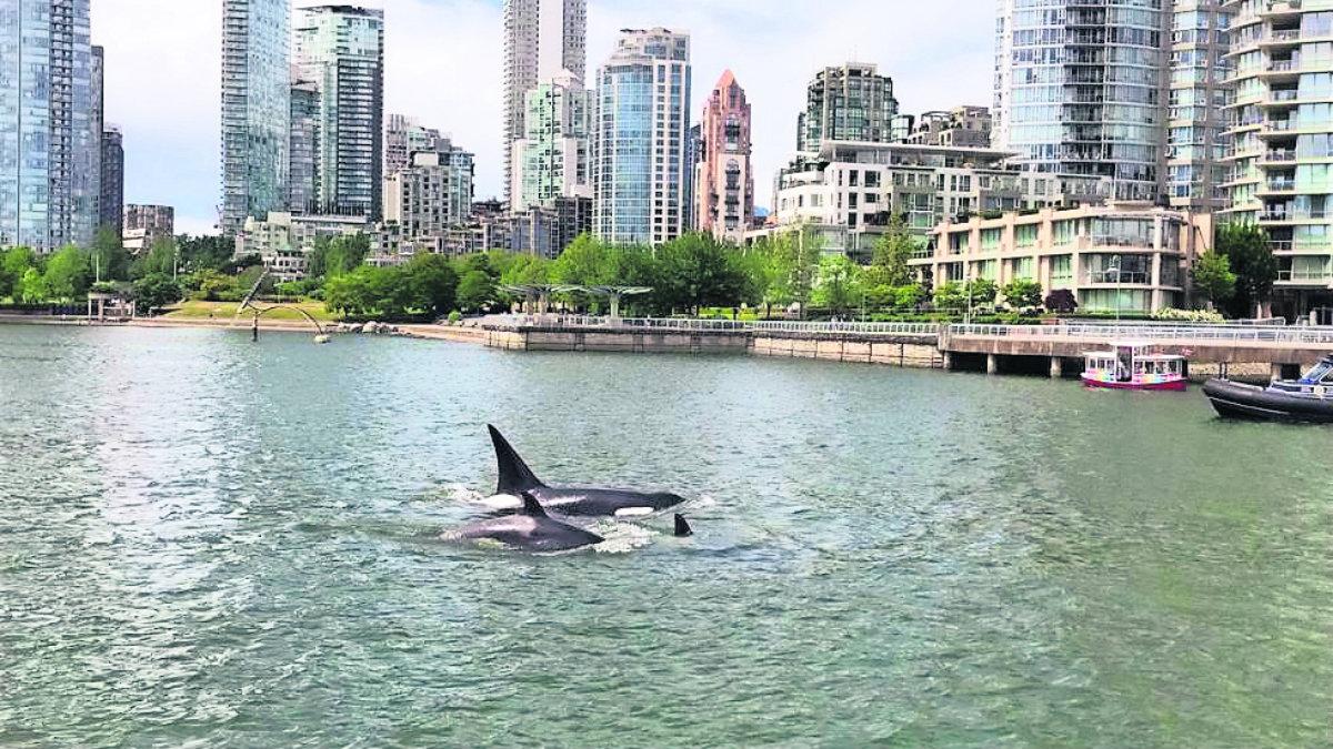 Orcas delfines dan espectáculo Visitantes