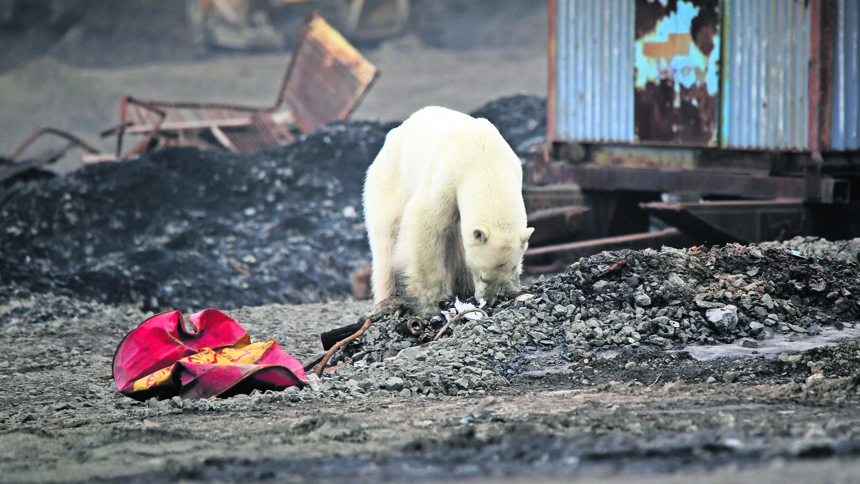Oso polar busca comida ciudad