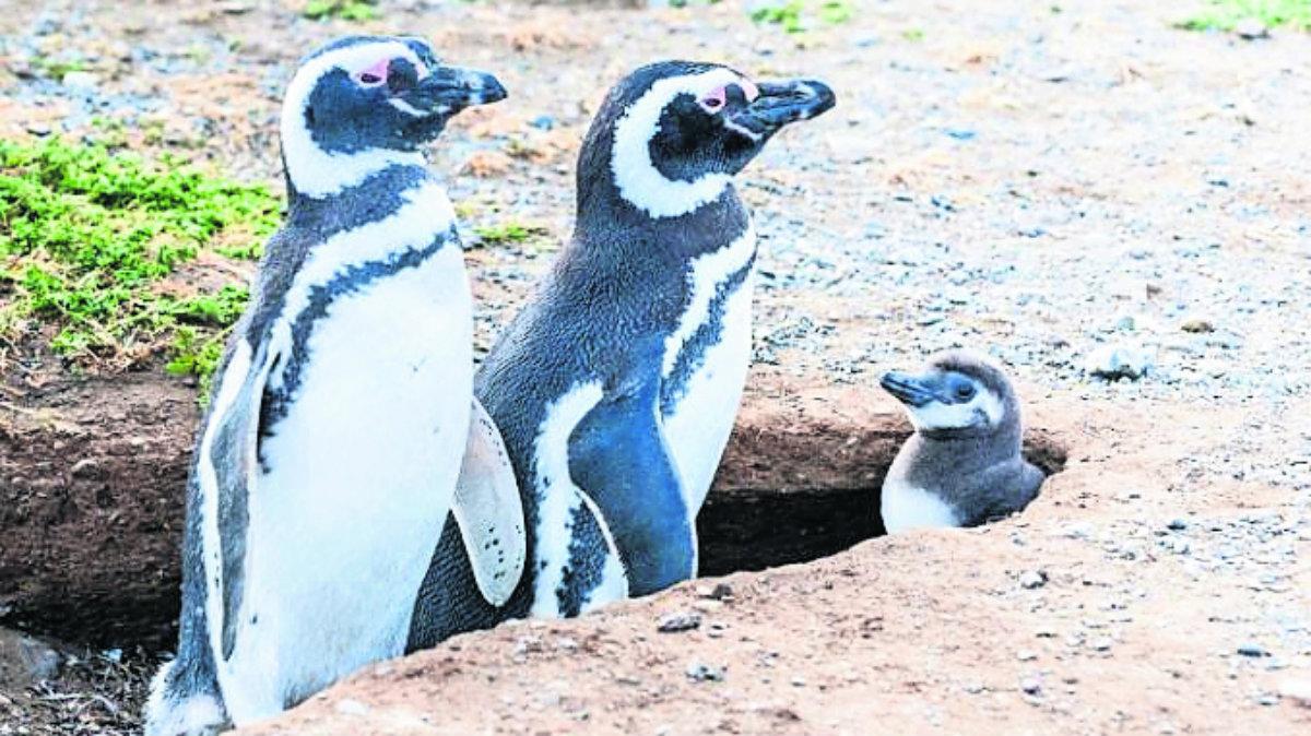 Pingüinas empollan primer huevo