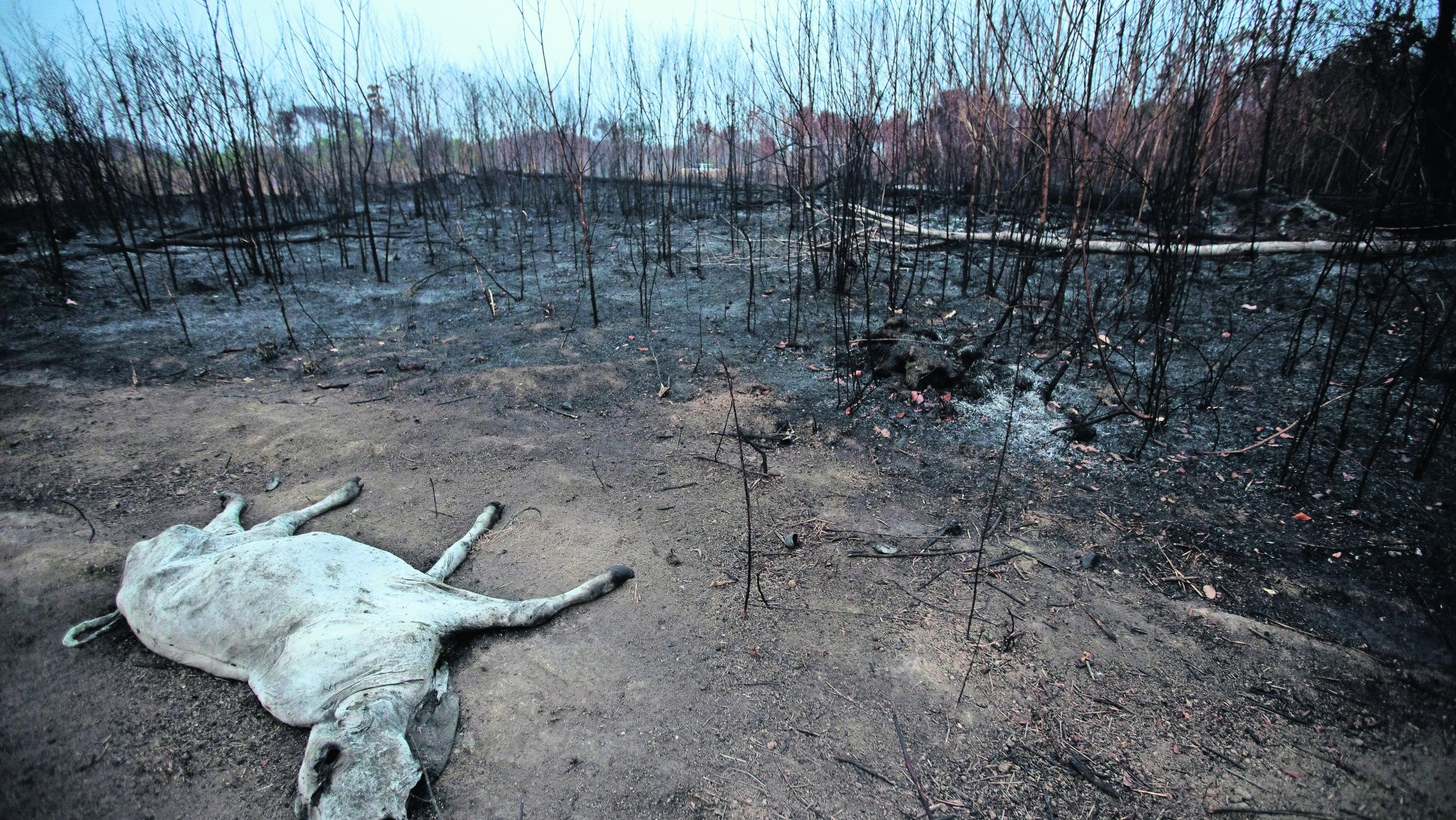 amazonas incendio animales muertos prayforamazonas amazonia