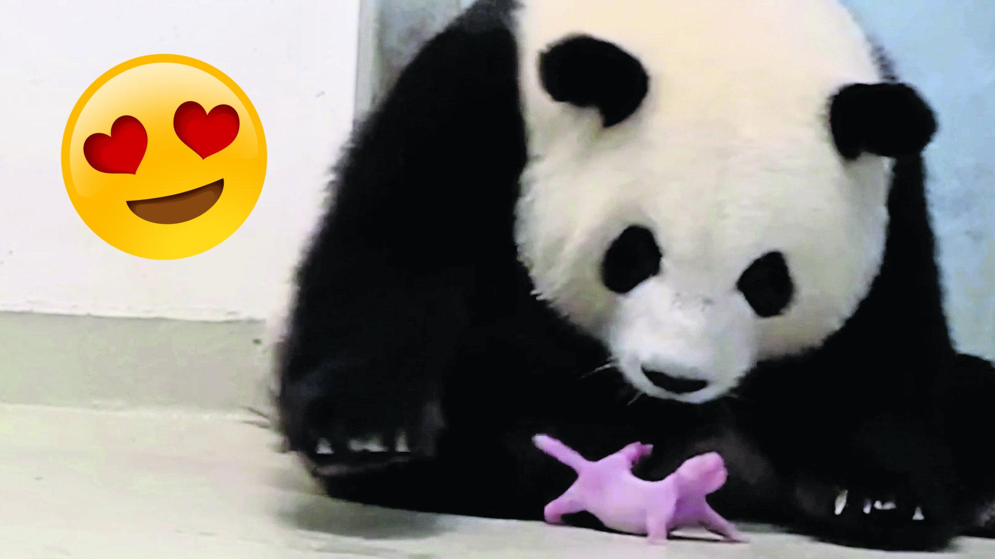 Nacen los primeros pandas gemelos en zoológico de Berlín