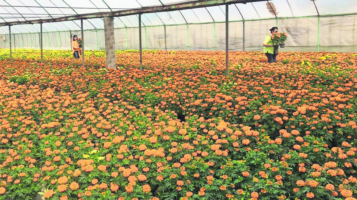 floricultores flor invernaderos venta ofrendas día de muertos