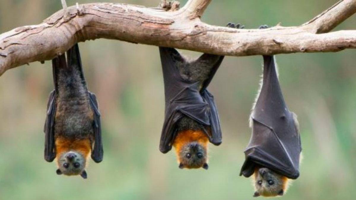 murciélagos conservación especia peligro de extinción importancia polinización morelos