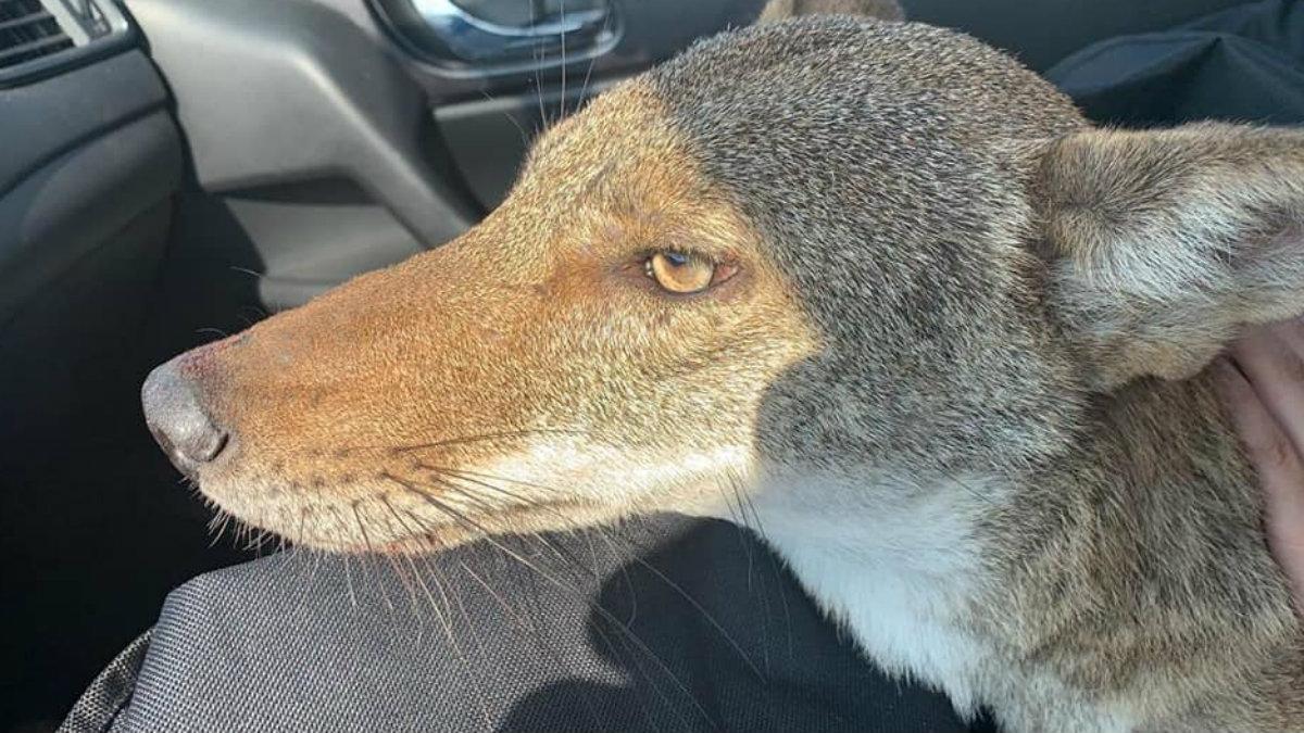 Muere Pancho Tamaulipas coyote