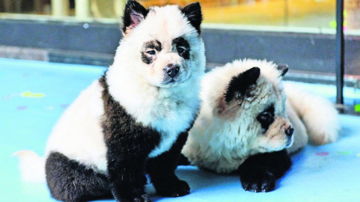 tiñen el pelo a perritos y polemica en China