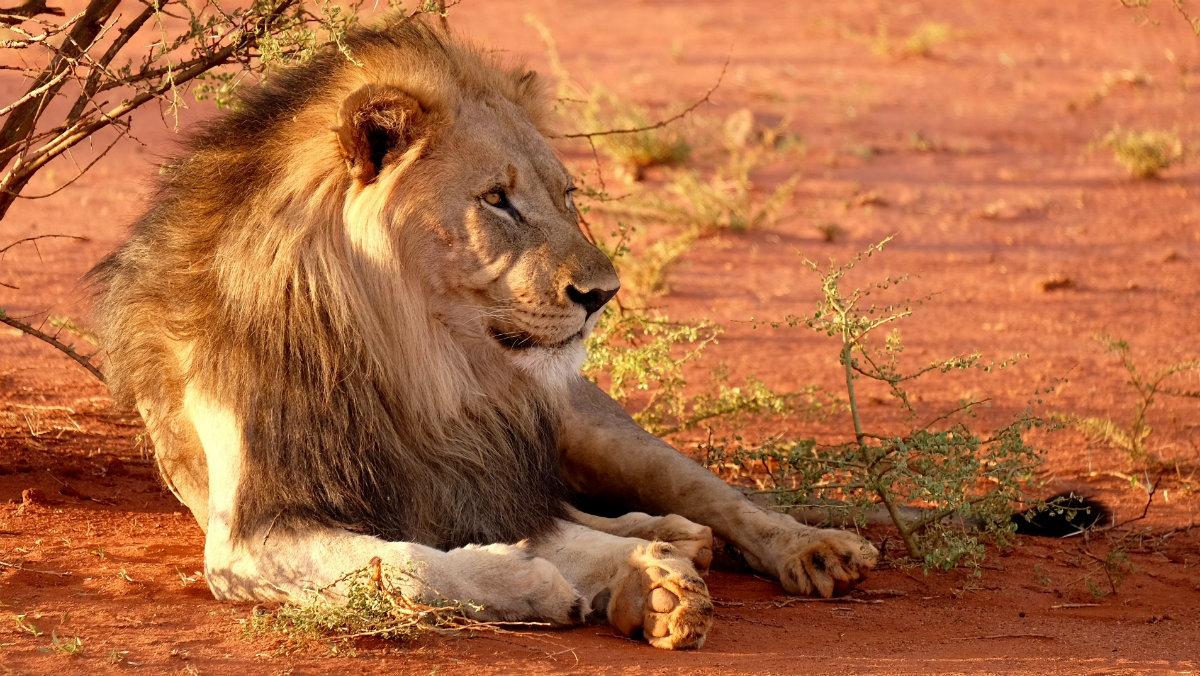 Envenenan y matan leones Sudáfrica