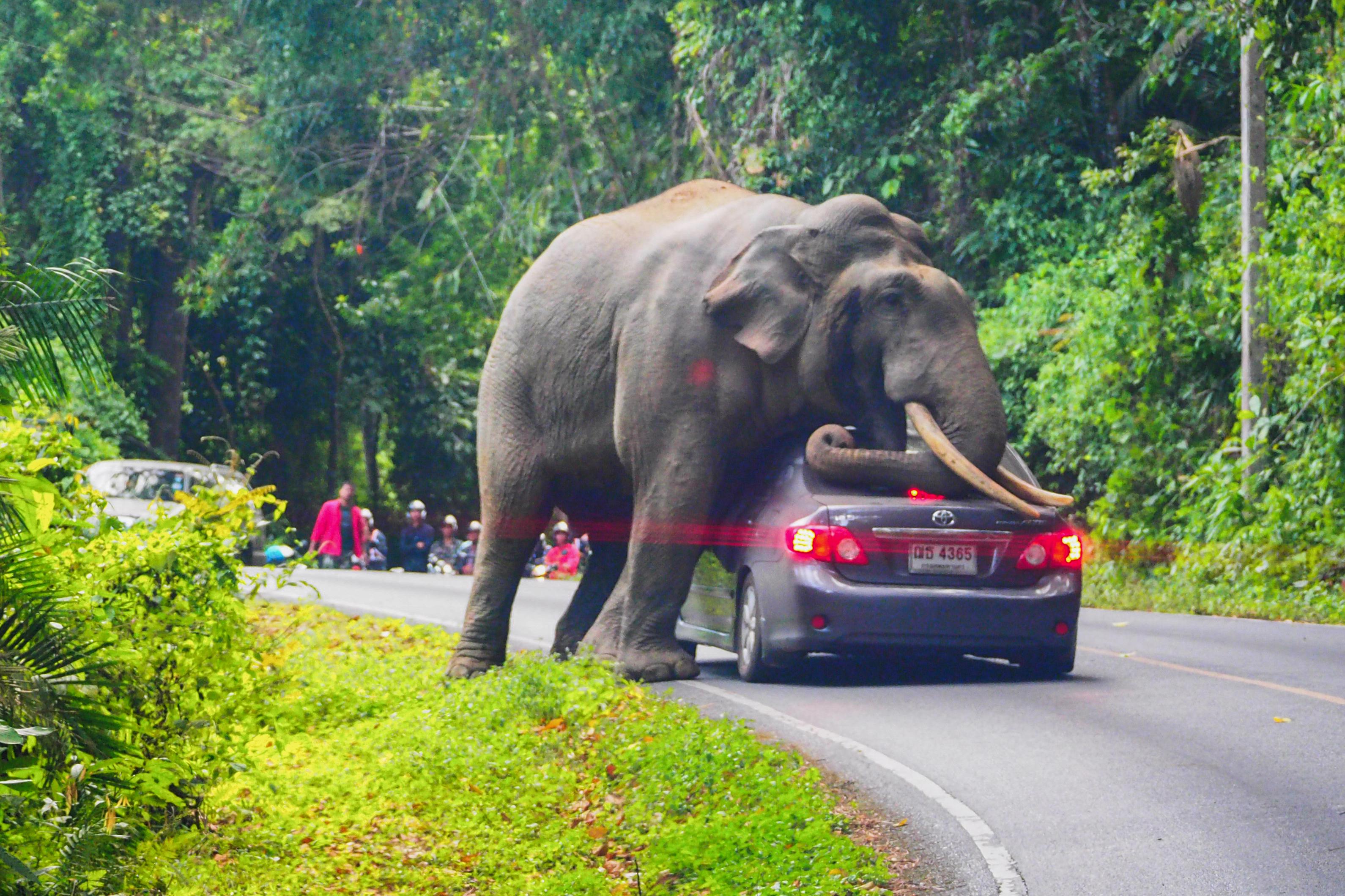 elefante frena marcha automovilista Tailandia vehículo