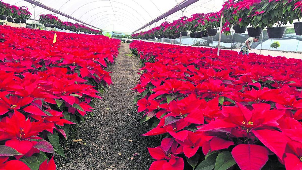 flor nochebuena navidad cultivo exportación tetela del monte