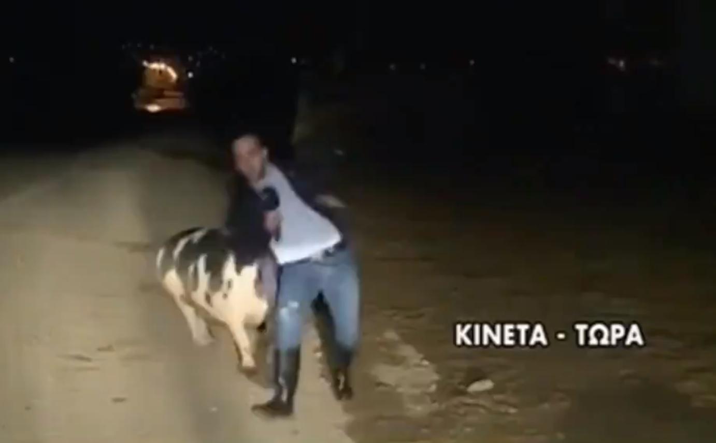 reportero correteado atacado cerdo gigante video transmisión en vivo