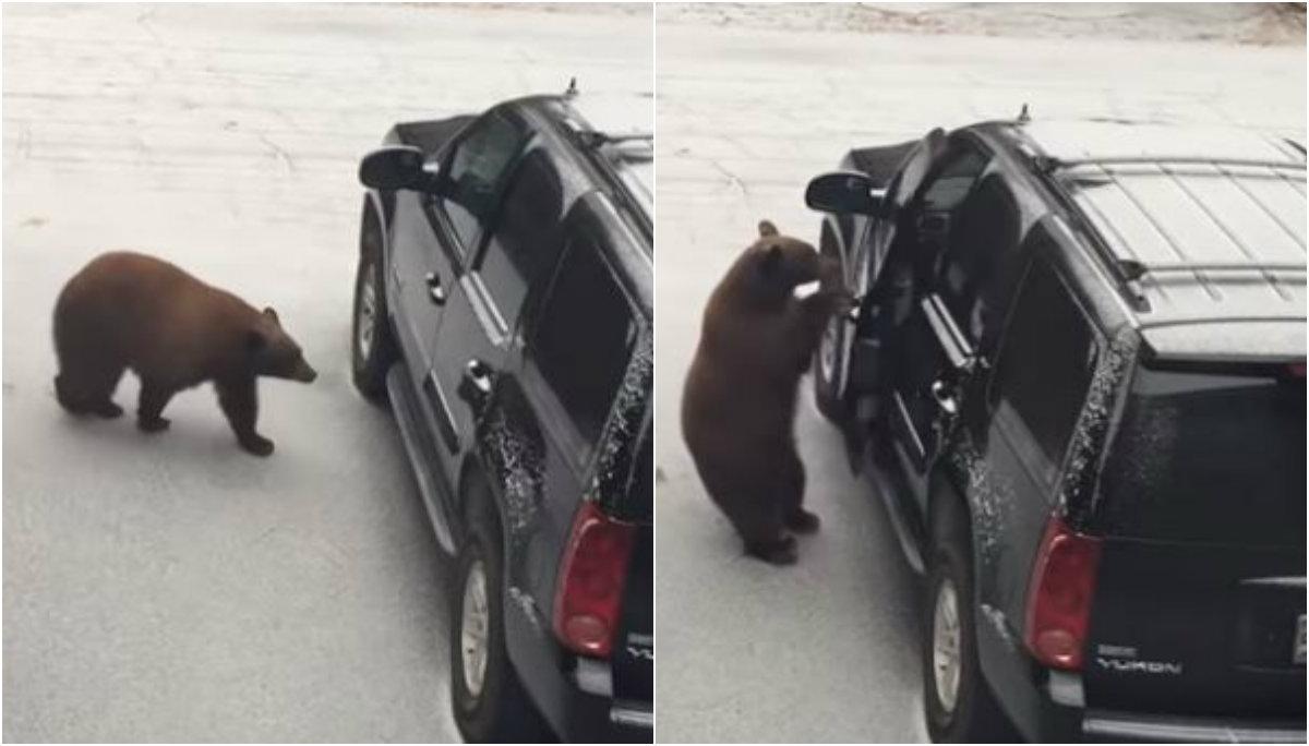 oso abre puerta camioneta aterroriza familia video