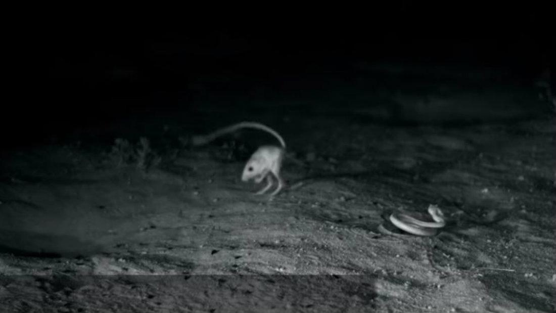 vibora raton pelea