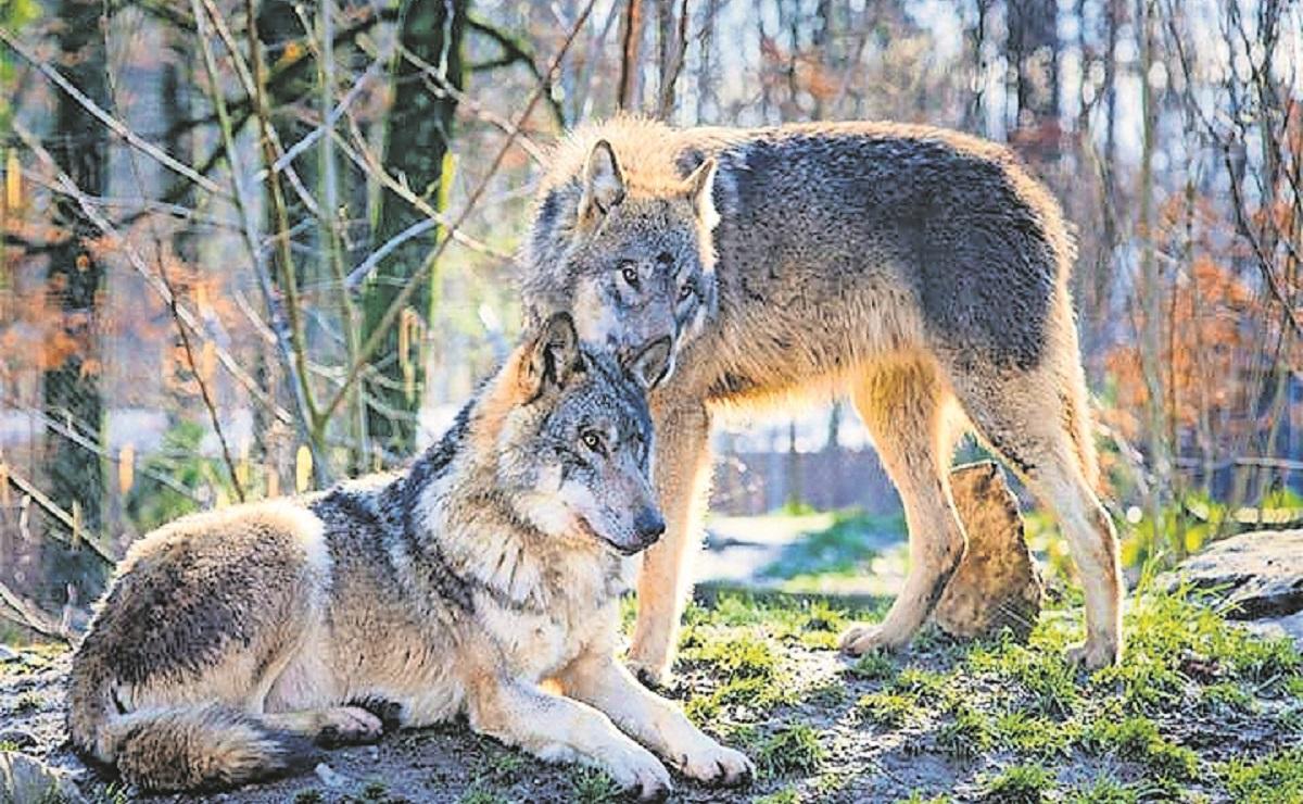 A 35 años del accidente nuclear, los lobos fundaron un reino en Chernóbil