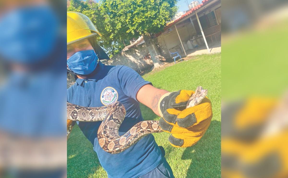 Serpientes se alborotan por el calorón en Cuautla y buscan refugio dentro de casas