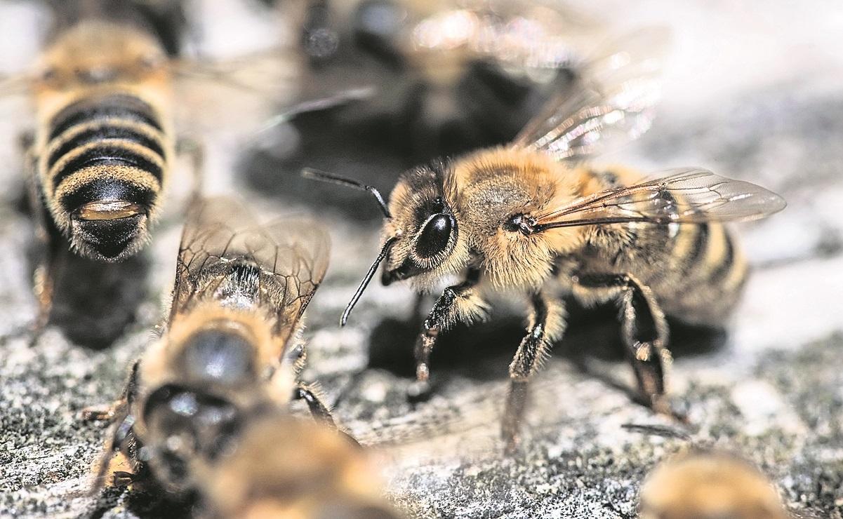 Investigadores entrenan abejas para detectar casos de Covid, en Holanda