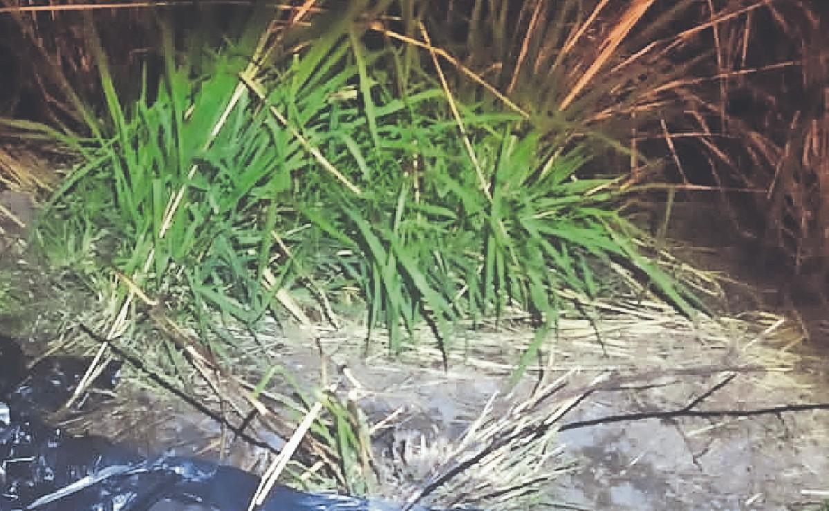 Encuentran cadáver descompuesto con el pecho carcomido hasta los huesos, en Morelos
