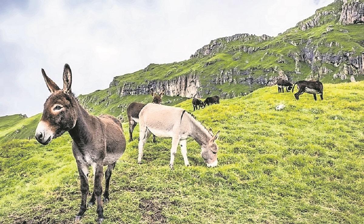 Suero de plasma de burros, la apuesta de Bolivia para tratar el Covid