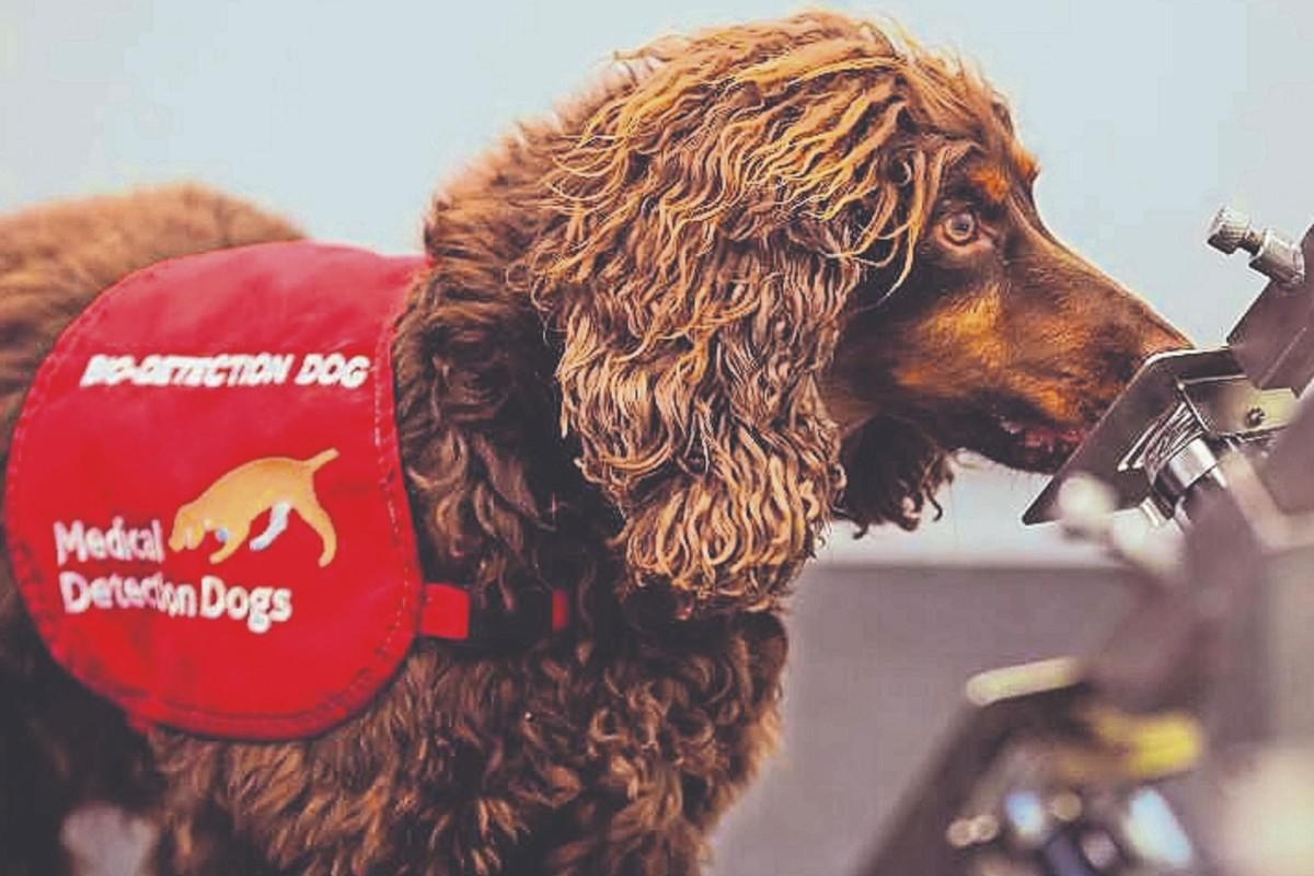 Estudio revela que los perros podrían detectar el Covid casi al 100 por ciento
