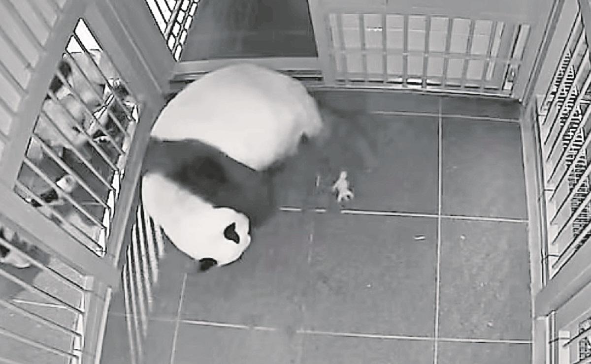 Anuncian nacimiento de pandas gemelos en zoológico de Tokio