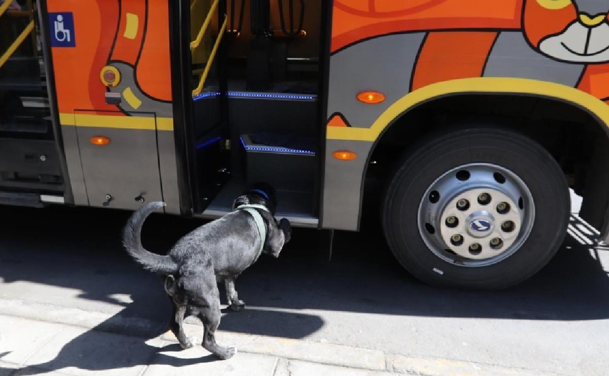 Perrito boliviano que se pasea en bús enamora a todos, ya no es callejero y vive con otros