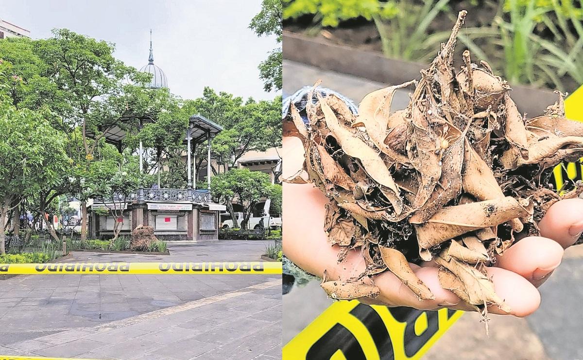 Cierran Jardín Juárez en Cuernavaca para combatir una plaga de arañas que seca los árboles