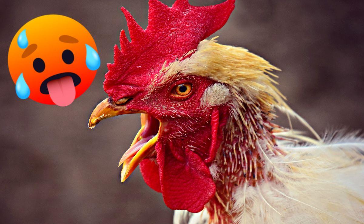 Gallo con gemido causa escándalo en Google Translate