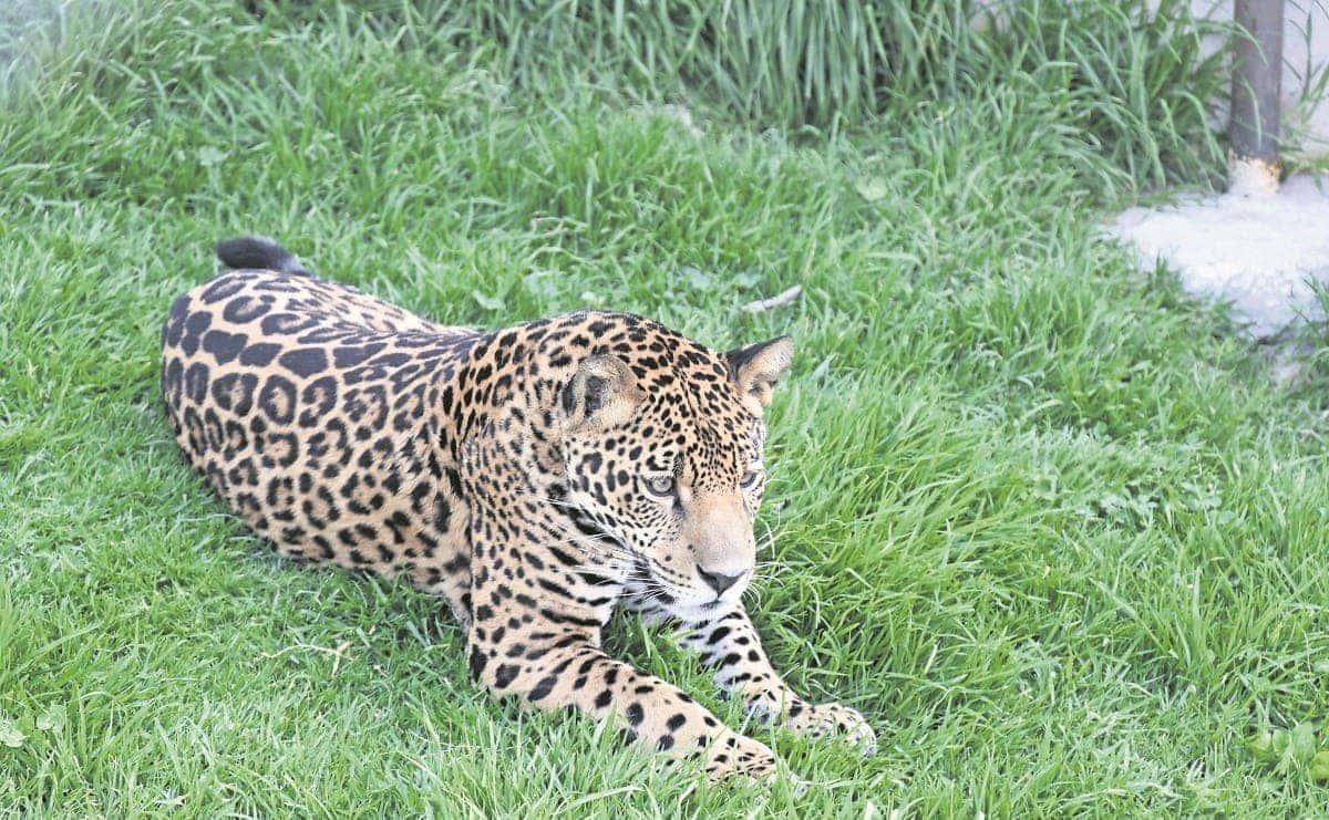 Parque Ehécatl, el nuevo hogar de Mixtémoc, un jaguar de 11 meses