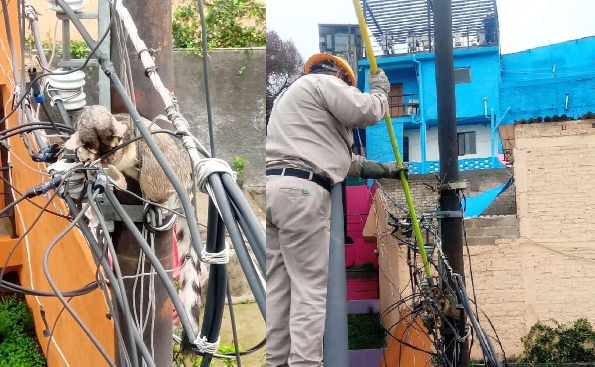 Muere cacomixtle electrocutado y se descompone mega elevador en CDMX, está en peligro de extinción