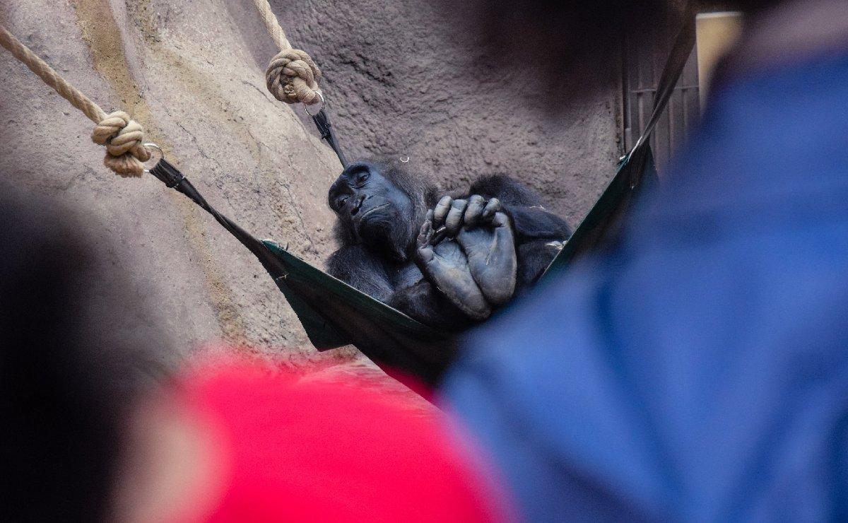 Gorilas dan positivo a Covid-19, presentaron todos los síntomas