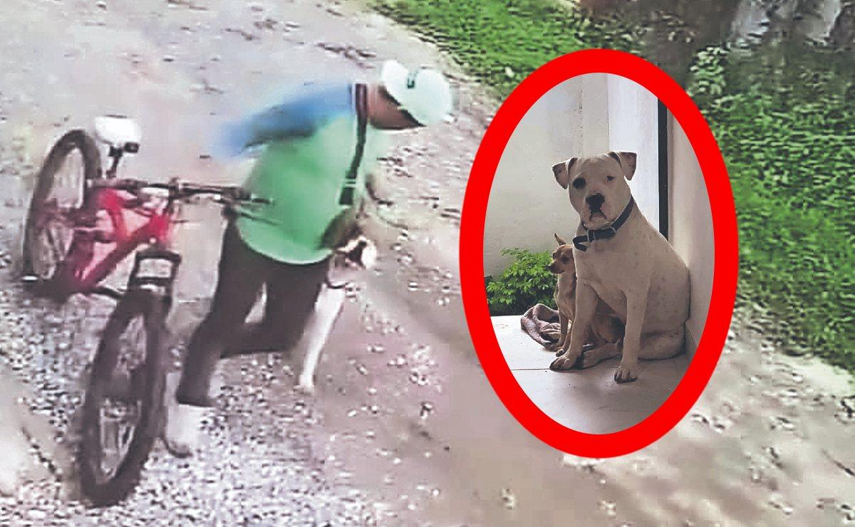 Joven pide ayuda para recuperar a su Pitbull, fue robado por un ciclista en Morelos