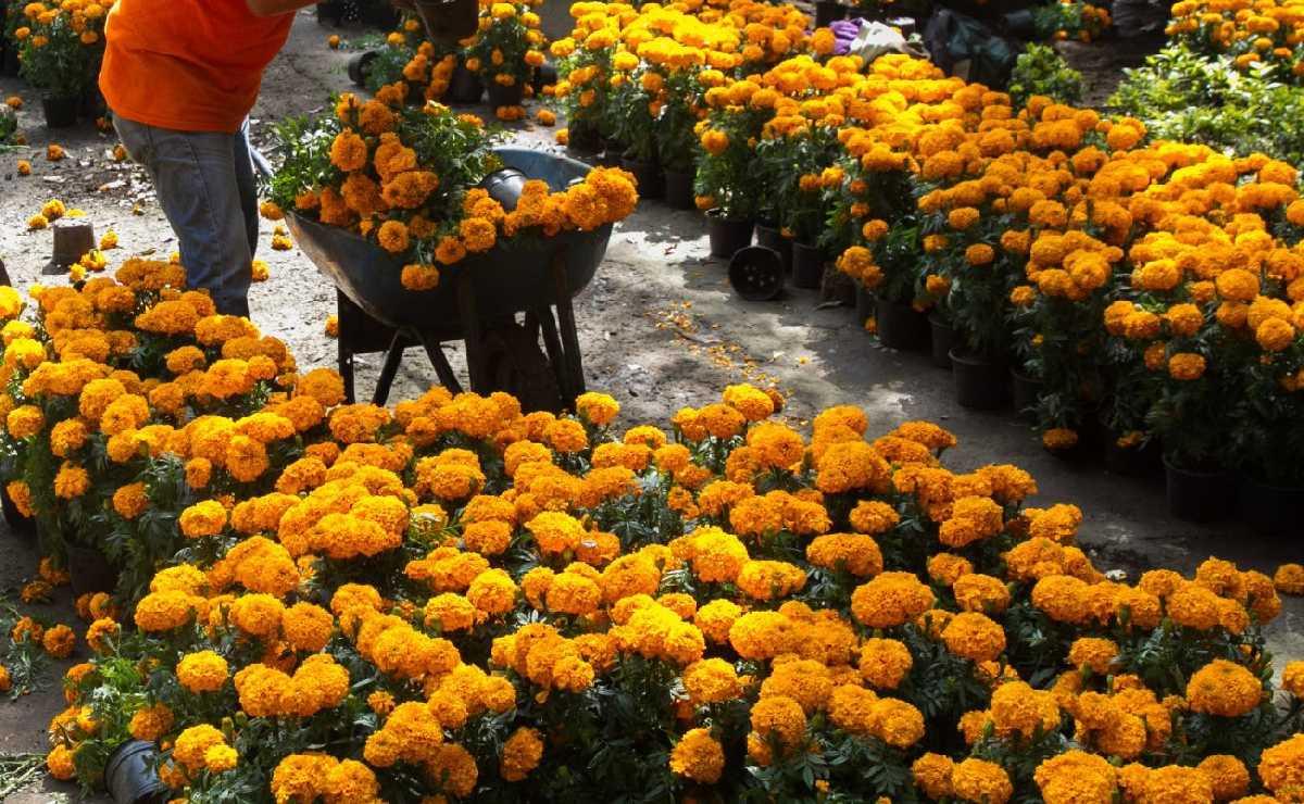 Cempasúchil es un éxito en Xochimilco, aumenta producción a casi 3 millones de macetas