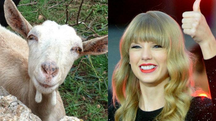 Cabra famosa se vuelve corista de Taylor Swift