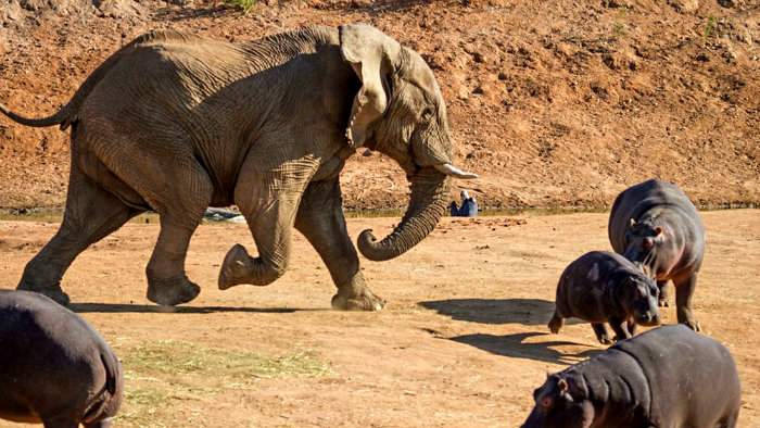 FOTOS: Elefante pelea contra hipopótamo