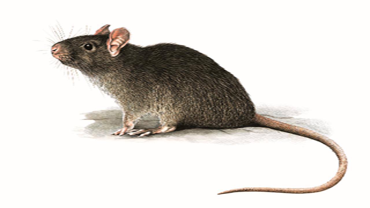 Descubren Una Rata En Marte