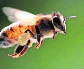 dia mundial de las abejas peligro de extincion mexico