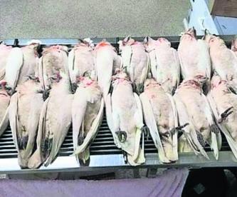Aves muertas Ojos y pico ensangrentados Presunto envenenamiento Australia