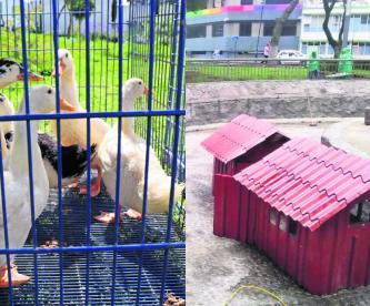 estanque patos alameda central toluca recibe nuevas aves inquilinos al agua patos ataque de perros