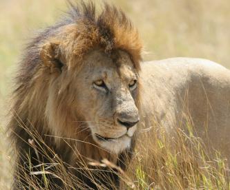 Difunden video de cazadores matar a quemarropa a león y causa indignación