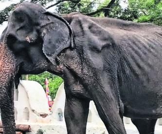 obligan elefanta desnutrida desfilar festival busdista sri lanka