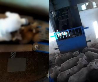 maltrato animal matadero España