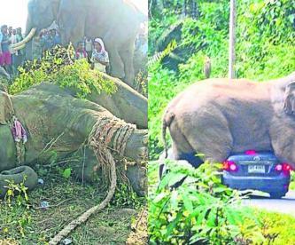 Elefante Bin Laden captura