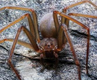 Nueva especie de araña violinista