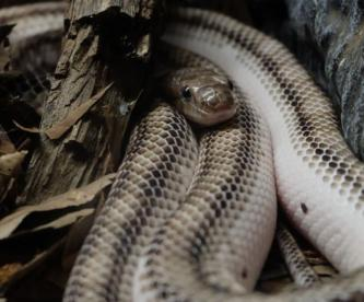 Niegan el acceso a una zona de un parque en Florida por mega orgía de serpientes