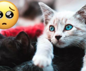 Para celebrarlos como se deben, te presentamos diez datos que no conocías de los gatos